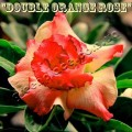 Семена Адениум (Adenium) Obesum DOUBLE ORANGE ROSE