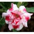 Семена Adenium Obesum Desert rose DOUBLE WAKA WAKA