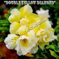 Насіння Аденіум (Adenium) Obesum DOUBLE YELLOW DIAMOND