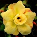 Семена Adenium Obesum Desert rose DOUBLE YELLOW KING PARFUM