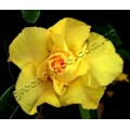 Семена Adenium Obesum Desert rose TRIPLE KING PURE YELLOW