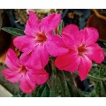 Насіння Adenium Obesum Desert rose LYN LYN