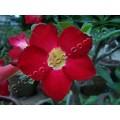 Семена Adenium Obesum Desert rose MISS THAILAND