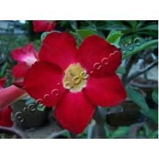 Растение Адениум Тучный MISS THAILAND