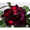 Семена Adenium Obesum Desert rose QUATRO DARK LORD