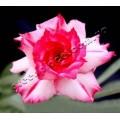 Насіння Adenium Obesum Desert rose QUATRO KING ROSES