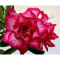 Семена Adenium Obesum Desert rose QUATRO MAGIC 5
