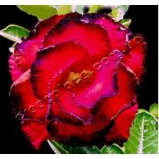 Семена Адениум Тучный TRIPLE AMAZING ROSE