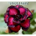 Семена Адениум (Adenium) Obesum TRIPLE ANNA