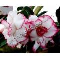Насіння Аденіум (Adenium) Obesum TRIPLE BE MINE