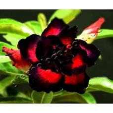 Растение Адениум Тучный TRIPLE BLACK EAGLE
