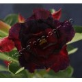 Семена Adenium Obesum Desert rose TRIPLE BLACK EDITION