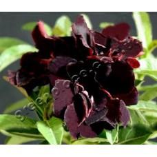 Семена Адениум Тучный TRIPLE BLACK KING