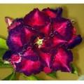 Рослина Adenium Obesum Desert rose TRIPLE BLUE COSMOS