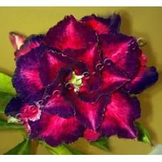 Растение Адениум Тучный TRIPLE BLUE COSMOS