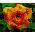 Насіння Adenium Obesum Desert rose TRIPLE BRIGHT OF YELLOW