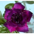 Насіння Adenium Obesum Desert rose TRIPLE DARK PURPLE