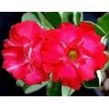 Семена Adenium Obesum Desert rose TRIPLE FIRE&ICE