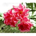 Семена Adenium Obesum Desert rose TRIPLE GENTLE BREEZE