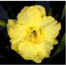 Семена Адениум Тучный TRIPLE HAPPY GOLD