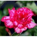 Семена Adenium Obesum Desert rose TRIPLE ILLUSION