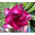 Семена Adenium Obesum Desert rose TRIPLE KING PURPLE