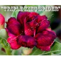 Семена Адениум (Adenium) Obesum TRIPLE KING SPIDER