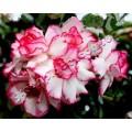 Семена Adenium Obesum Desert rose TRIPLE POSEIDON