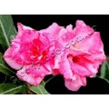 Насіння Adenium Obesum Desert rose TRIPLE ROSE FEMME