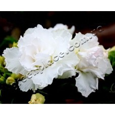 Семена Адениум Тучный TRIPLE WHITE KING PARFUM