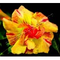 Семена Adenium Obesum Desert rose TRIPLE YELLOW DREAM