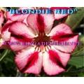 Семена Адениум (Adenium) Obesum BLONDIE RED