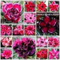Семена Адениум (Adenium) Obesum  DOUBLE-TRIPLE FLOWERS MIX 1