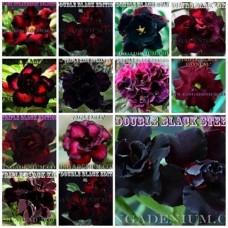 Насіння Аденіум Тучний DOUBLE-TRIPLE FLOWERS MIX 5