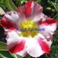 Семена Адениум (Adenium) Obesum EXTRA AROMA