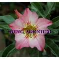 Насіння Аденіум (Adenium) Obesum FANTASTIC