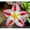 Насіння Аденіум (Adenium) Obesum KING STAR