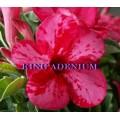 Семена Адениум (Adenium) Obesum PINK DALMATIAN