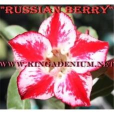 Насіння Аденіум Тучний RUSSIAN BERRY