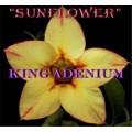 Насіння Аденіум (Adenium) Obesum SUNFLOWER