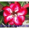 Семена Адениум (Adenium) Obesum TAMARA