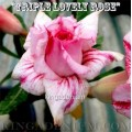Семена Адениум (Adenium) Obesum TRIPLE LOVELY ROSE