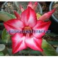 Семена Адениум (Adenium) Obesum TYCOON