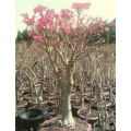 Семена Адениум (Adenium) Somalense MIXED COLOURS