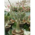 Семена Adenium Somalense Desert rose MIXED COLORS