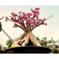 Насіння Adenium Thai Socotranum GOLDEN CROWN