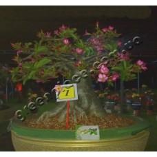 Семена Адениум Thai Socotranum KHAO HIN SON