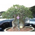 Насіння Adenium Thai Socotranum PETCH BANNA