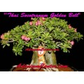 Семена Адениум (Adenium) Thai Socotranum GOLDEN BELL