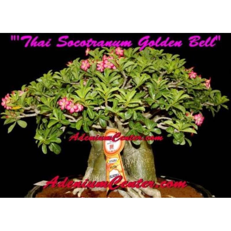 Купить семена Адениума Thai Socotranum GOLDEN BELL